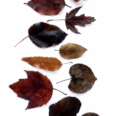 Brown Tree Leaves | Photo taken Jan 4, 2019 | Susan Libertiny