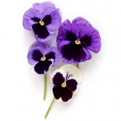 Purple Pansies | Photo 20/100 | Susan Libertiny