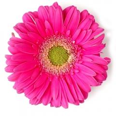 Hot Pink Gerber Daisy   Photo taken Feb 10, 2019   Susan Libertiny