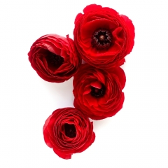 Red Ranunculus | Photo 14/100 | Susan Libertiny