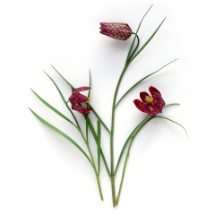 Snake Head Fritillary | Photo 26/100 | Susan Libertiny