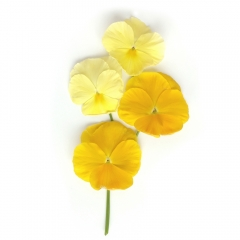 Yellow Pansies | Photo 29/100 | Susan Libertiny